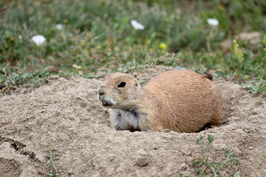 Prarie dog coming out of the ground.