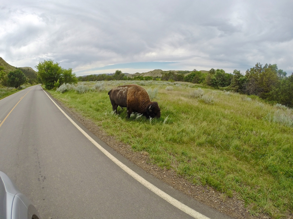 Buffalo next to the road.