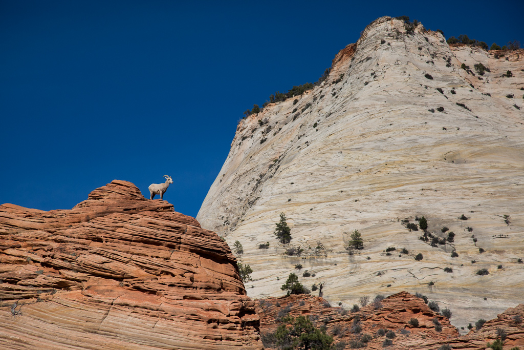 Mountain goat at the top of a canyon.