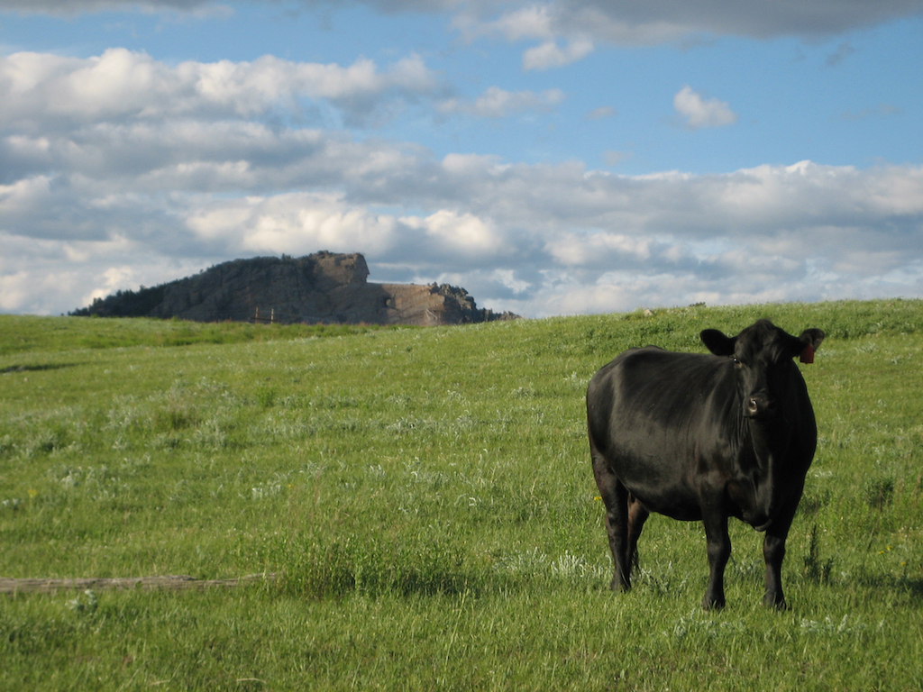 Black cow staring straight at the camera in grassy field with Crazy Horse monument in the background.