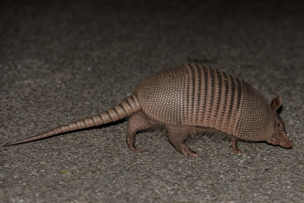 Armadillo crossing road.