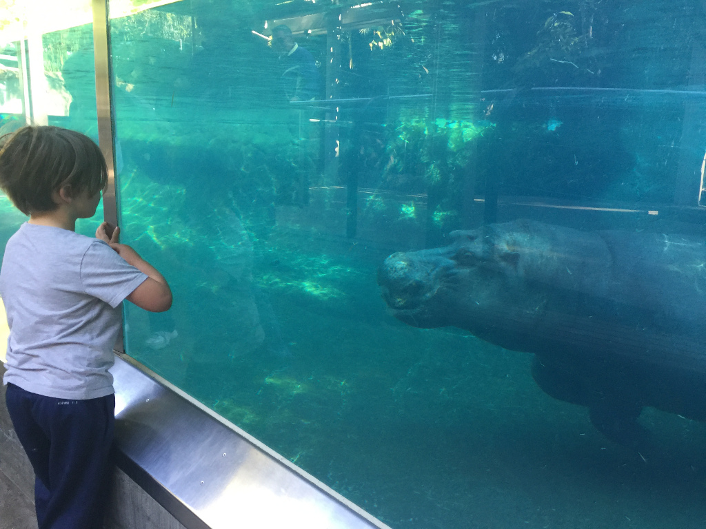 Child looking at a hippopotamus through the glass
