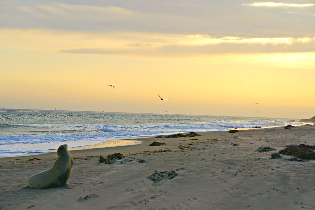 Sea lion sitting on the beach with Seagulls flying overhead