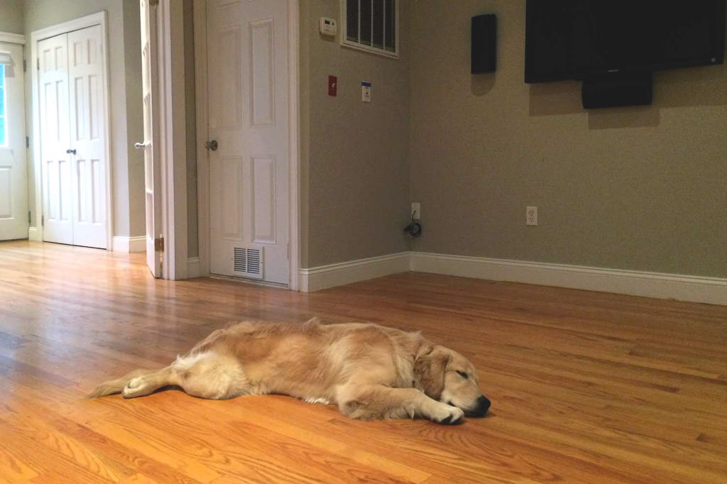Lucy laying in house on hardwood floor