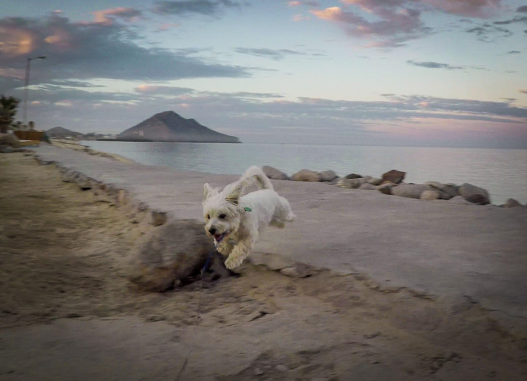 Small white dog jumping towards the camera with beach and ocean behind.